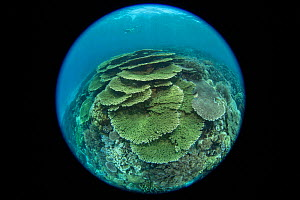 Plate coral (Acropora sp) with diver in background. Taken with fish eye lens. Indonesia. 2018.  -  Jurgen Freund