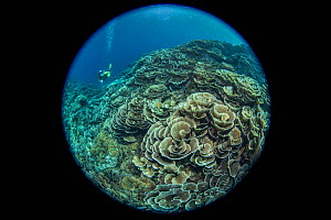 Cabbage coral (Scleractinia) in coral reef near Gunung Banda Api volcano, these corals thrived in lava flow from the 1988 eruption. Diver in background, taken with fisheye lens. Banda Neira, Banda Isl...  -  Juergen Freund