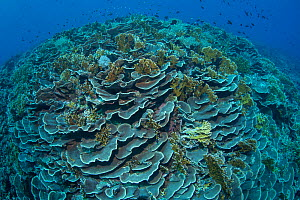 Cabbage coral (Scleractinia) in coral reef near Gunung Banda Api volcano, these corals thrived in lava flow from the 1988 eruption. Banda Neira, Banda Islands, Indonesia.  -  Jurgen Freund