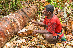 Man harvesting pith from trunk of Palm, most likely Sago palm (Metroxylon sagu), before processing into Sago, a starchy staple. West Papua, Indonesia. 2018.  -  Juergen Freund
