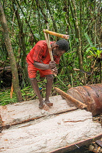 Man harvesting pith from trunk of Palm, most likely Sago palm (Metroxylon sagu), in rainforest. Before processing into Sago, a starchy staple. West Papua, Indonesia. 2018.  -  Juergen Freund
