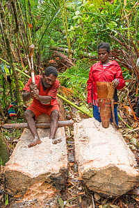 Man extracting pith from trunk of Palm, most likely Sago palm (Metroxylon sagu) during harvest in rainforest. Woman waiting to fill basket before processing into Sago, a starchy staple. West Papua, In...  -  Juergen Freund
