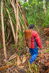 Woman carrying basket of pith harvested from rainforest Palm, most likely Sago palm (Metroxylon sagu). Pith processed into sago, a starchy staple. West Papua, Indonesia. 2018.  -  Juergen Freund