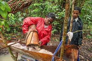 Woman emptying pith into trough, harvested from Palm, most likely Sago palm (Metroxylon sagu). Pith processed into sago, a starchy staple. West Papua, Indonesia. 2018.  -  Juergen Freund