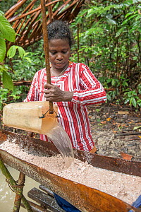 Woman pouring water onto pith harvested from Palm, most likely Sago palm (Metroxylon sagu). Processing into sago, a starchy staple. West Papua, Indonesia. 2018.  -  Juergen Freund