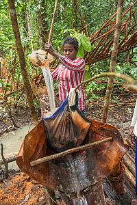 Woman cleaning pith harvested from Palm, most likely Sago palm (Metroxylon sagu). Processing into sago, a starchy staple. West Papua, Indonesia. 2018.  -  Juergen Freund