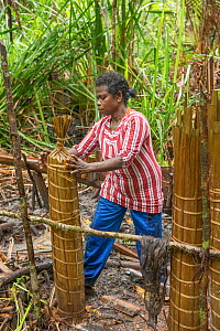 Woman processing pith harvested from Palm, most likely Sago palm (Metroxylon sagu), to make sago, a starchy staple. West Papua, Indonesia. 2018.  -  Juergen Freund