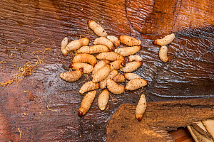 Sago palm weevil (Rhynchophorus sp) grubs found during Sago palm (Metroxylon sagu) harvest. These larvae feed of rotting trunks of palm used as a starchy staple in West Papua, Indonesia. 2018.  -  Jurgen Freund