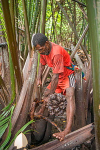 Man harvesting pith of Palm tree to be processed into sago, a starchy staple. Sago palm (Metroxylon sagu) is most commonly used. West Papua, Indonesia. 2018.  -  Juergen Freund