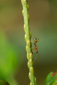 Green tree ant (Oecophylla smaragdina) walking on stem covered with Scale insects (Sternorrhyncha). Far North Queensland, Australia.  -  Juergen Freund