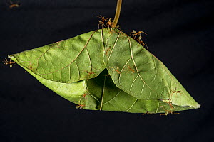 Green tree ant (Oecophylla smaragdina) workers on leaf; nests are made by stitching many leaves together. Queensland, Australia.  -  Juergen Freund