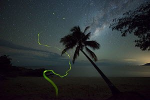 Firefly (Lampyridae) trails on beach at night, Palm tree silhouetted against milky way. Oak Beach, Port Douglas, Far North Queensland, Australia. 2016.  -  Jurgen Freund