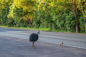 Southern cassowary (Casuarius casuarius johnsonii) male and chick crossing the road. Mission Beach, Far North Queensland, Australia.  -  Jurgen Freund