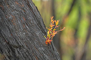 Eucalypt (Eucalypteae) tree trunk charred by forest fire, shoots from epicormic regrowth. Blue Mountains, New South Wales, Australia. February 2020.  -  Jurgen Freund