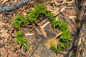 Eucalypt (Eucalypteae) epicormic growth on forest floor, from roots of tree damaged by bush fire. Blue Mountains, New South Wales, Australia. February 2020.  -  Jurgen Freund
