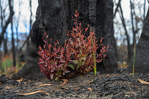 Eucalypt (Eucalypteae) with epicormic growth at base of charred tree trunk, damaged by bush fire. Blue Mountains, New South Wales, Australia. February 2020.  -  Jurgen Freund