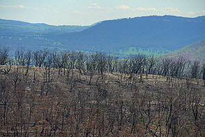 Eucalypt (Eucalypteae) forest damaged by bush fire. Blue Mountains, New South Wales, Australia. February 2020.  -  Jurgen Freund