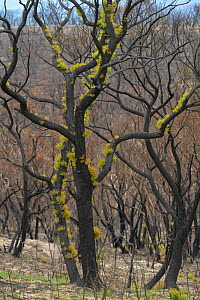 Eucalypt (Eucalypteae) forest damaged by bush fire, epicormic growth on branches. Blue Mountains, New South Wales, Australia. February 2020.  -  Jurgen Freund