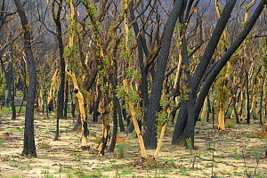 Eucalypt (Eucalypteae) forest damaged by bush fire, epicormic growth on tree trunks. Blue Mountains, New South Wales, Australia. February 2020.  -  Jurgen Freund