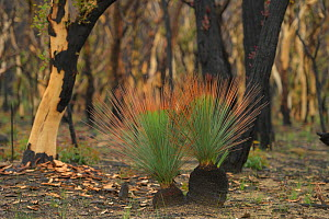 Grass tree (Xanthorrhoea sp) regrowth on burnt stumps in Eucalypt (Eucalypteae) forest damaged by bush fire. Blue Mountains, New South Wales, Australia. February 2020.  -  Jurgen Freund