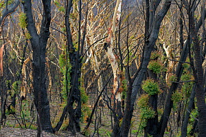 Eucalyptus (Eucalypteae) trees charred by bush fire, epicormic new growth on trunks. Blue Mountains, New South Wales, Australia. February 2020.  -  Jurgen Freund