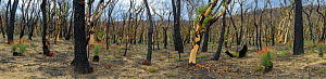 Eucalypt (Eucalypteae) forest with Grass trees (Xanthorrhoea sp) damaged by bush fire, Eucalypts with epicormic growth. Blue Mountains, New South Wales, Australia. February 2020.  -  Jurgen Freund