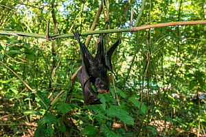 Golden-crowned flying fox (Acerodon jubatus) orphan which fell from roosting colony, hanging from branch. Mambukal Resort, Negros Occidental, Philippines. Captive.  -  Juergen Freund