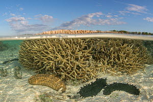 Sea cucumber (Holothuroidea) group in coral reef at low tide, split level view. Southern Great Barrier Reef, Heron Island, Queensland, Australia. 2016.  -  Jurgen Freund