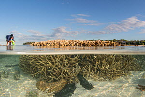 Split level of Sea cucumbers (Holothuroidea) on sea floor at low tide, tourist looking at coral reef with coral scope in background. Southern Great Barrier Reef, Heron Island, Queensland, Australia. 2...  -  Jurgen Freund