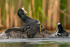 Coot (Fulica atra) two fighting in a territorial dispute during the breeding season, Valkenhorst Nature Reserve, Valkenswaard, The Netherlands, May.  -  David Pattyn