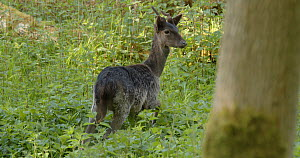 Melanistic Fallow deer (Dama dama) grazing amongst nettles in woods, Ashridge Estate, Hertfordshire, UK, May.  -  Neil Challis