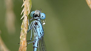 Azure damselfly (Coenagrion puella) resting on a grass stem, cleaning eyes, Finemere Wood, Buckinghamshire, UK, July.  -  Neil Challis