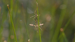 Crane flies (Tipula sp.) mating on a grass stem, Rushbed Woods, Buckinghamshire, UK, July.  -  Neil Challis