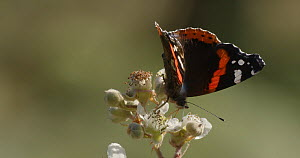 Red admiral butterfly (Vanessa cardui) feeding on Bramble flowers and flying away, Rushbed Woods, Buckinghamshire, UK, July.  -  Neil Challis