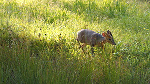 Male Muntjac deer (Muntiacus reevesi) walkling through grass, searching for scent of other deer, Rushbed Woods, Buckinghamshire, UK, July.  -  Neil Challis