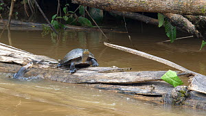 Yellow-spotted Amazon River Turtle (Podocnemis unifilis) basking on log in river, with another trying to climb on, Rio Tiputini, Orellana province, Ecuador.  -  Morley Read
