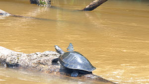 Yellow-spotted Amazon River Turtle (Podocnemis unifilis) basking on log in river, while being bothered by a butterfly in search of salt secreted by the turtles nostrils, Rio Tiputini, Orellana provinc...  -  Morley Read