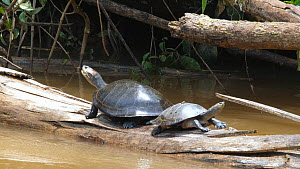 Yellow-spotted Amazon River Turtles (Podocnemis unifilis) pair basking on log in river, one yawns and the other dives into the water, Rio Tiputini, Orellana province, Ecuador.  -  Morley Read
