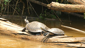 Yellow-spotted Amazon River Turtles (Podocnemis unifilis) pair basking on a log while butterflies fly around them seeking salt secreted by the turtles nostrils, one turtle dives into the river, Orella...  -  Morley Read
