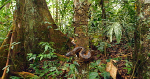 Revealing shot of Green anaconda (Eunectes murinus) juvenile on tree trunk in rainforest, near the Rio Tiputini, Amazon rainforest, Ecuador.  -  Morley Read