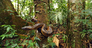 Green anaconda (Eunectes murinus) juvenile on tree trunk in rainforest, near the Rio Tiputini, Amazon rainforest, Ecuador.  -  Morley Read