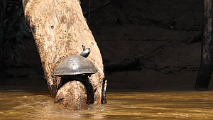 Slow motion clip of Yellow-spotted Amazon River Turtle (Podocnemis unifilis) basking on log before diving into river with a butterfly on its head, butterfly flies away as the turtle hits the water, Ri...  -  Morley Read