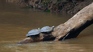 Slow motion clip of two Yellow-spotted Amazon River Turtle (Podocnemis unifilis) basking on log in river while butterflies fly around them as they seek salt secreted by the turtles nostrils, Rio Tiput...  -  Morley Read