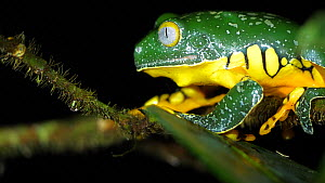 Male Fringed leaf frog (Cruziohyla craspedopus) shedding skin, pulling off old epidermis with feet. Perched in the understory of lowland tropical rainforest, Napo province, Ecuador, May.  -  Morley Read
