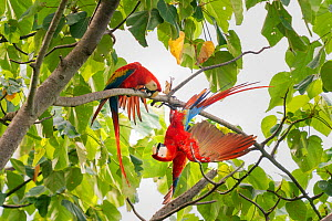Scarlet macaw (Ara macao) pair fighting in a tree, Corcovado National Park, Osa Peninsula, Costa Rica.  -  David Pattyn
