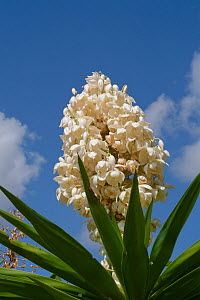 Yucca (Yucca sp.) flowering, Mallorca, Spain, August.  -  Nick Upton