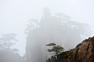 Conifers on peak in Huangshan Mountains, peak silhouetted in fog in background. Anhui Province, China. 2016.  -  Enrique Lopez-Tapia