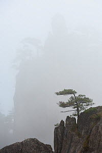 Conifer on peak in Huangshan Mountains, peak silhouetted in fog in background. Anhui Province, China. 2016.  -  Enrique Lopez-Tapia