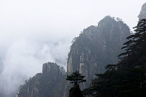 Conifers on peaks of Huangshan Mountains, in fog. Anhui Province, China. 2016.  -  Enrique Lopez-Tapia