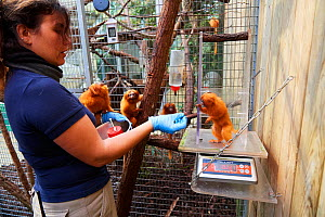 Keeper feeding and weighing a Golden lion tamarin (Leontopithecus rosalia), Beauval Zoo, Saint-Aignan, France.  -  Eric Baccega